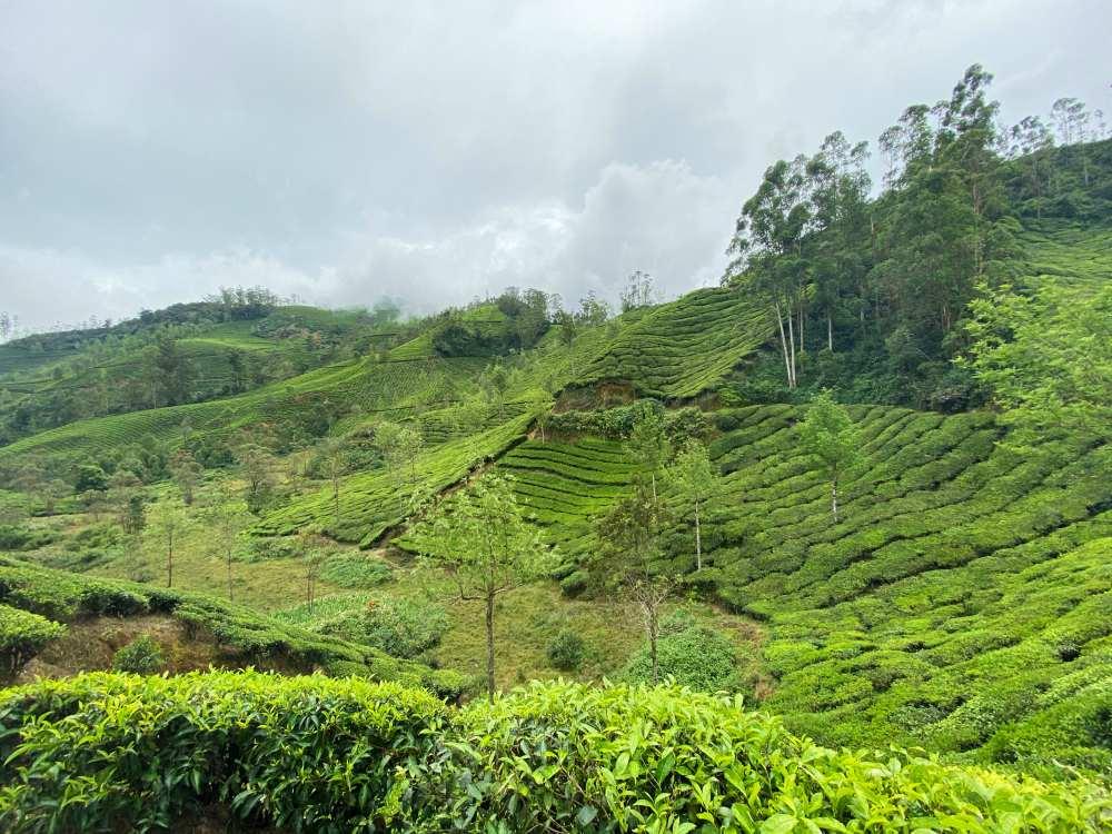 V Kerale jsem navštívila čajové plantáže a záhrady i malá políčka, na kterých se pěstuje koření a průvodci mi ke každému druhu dlouze povídali o jeho užití v rámci ajurvédského stravování a léčení.